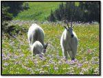 Glacier Mountain Goats
